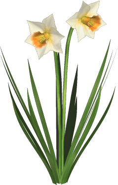 Daffodils PNG Transparent DaffodilsPNG Images  PlusPNG