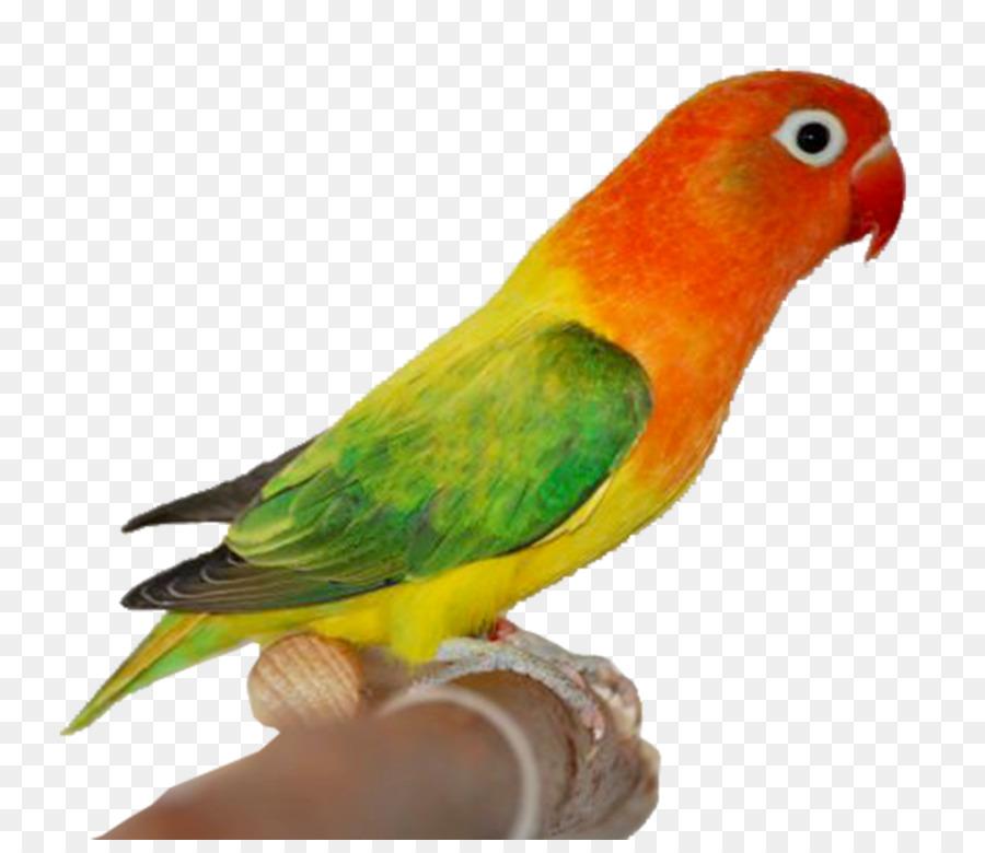35+ Download Gambar Lovebird Ngekek