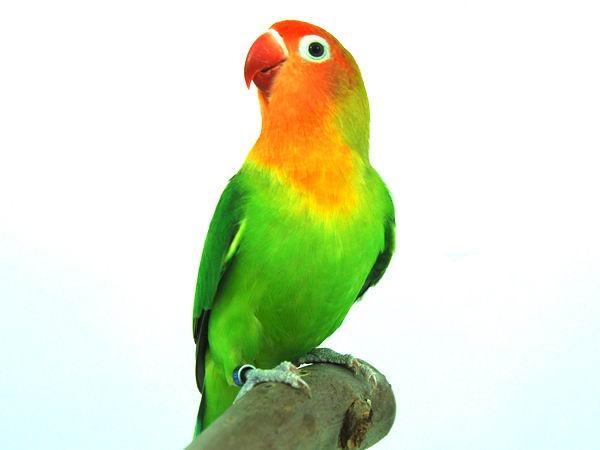 lovebird png hd transparent