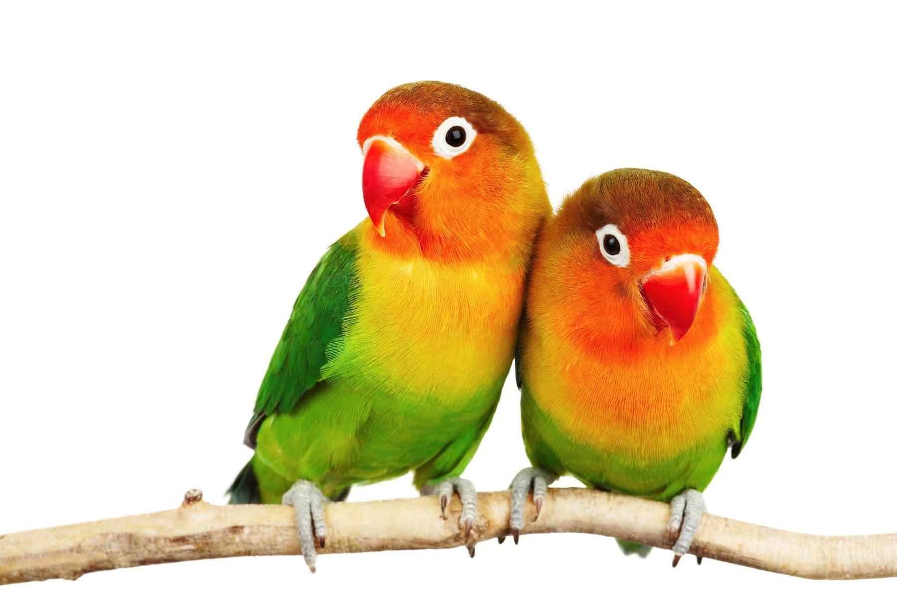 lovebirds png hd transparent