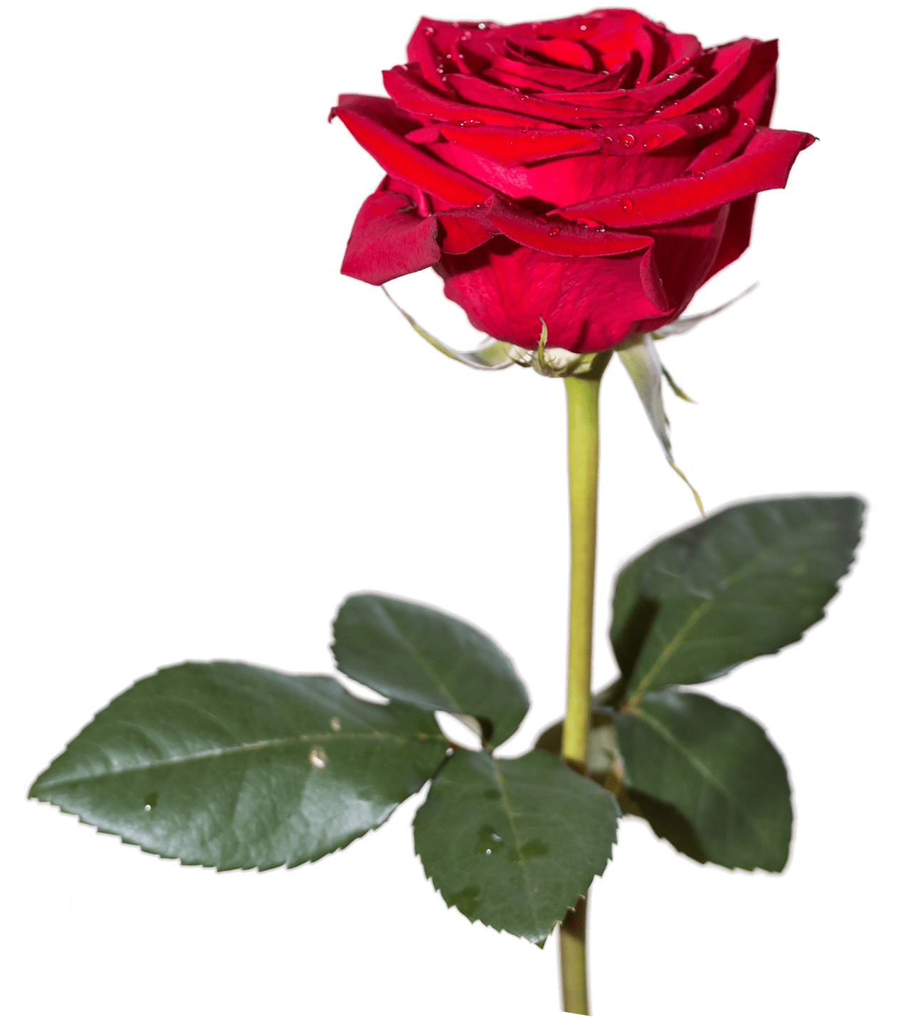 png hd rose transparent
