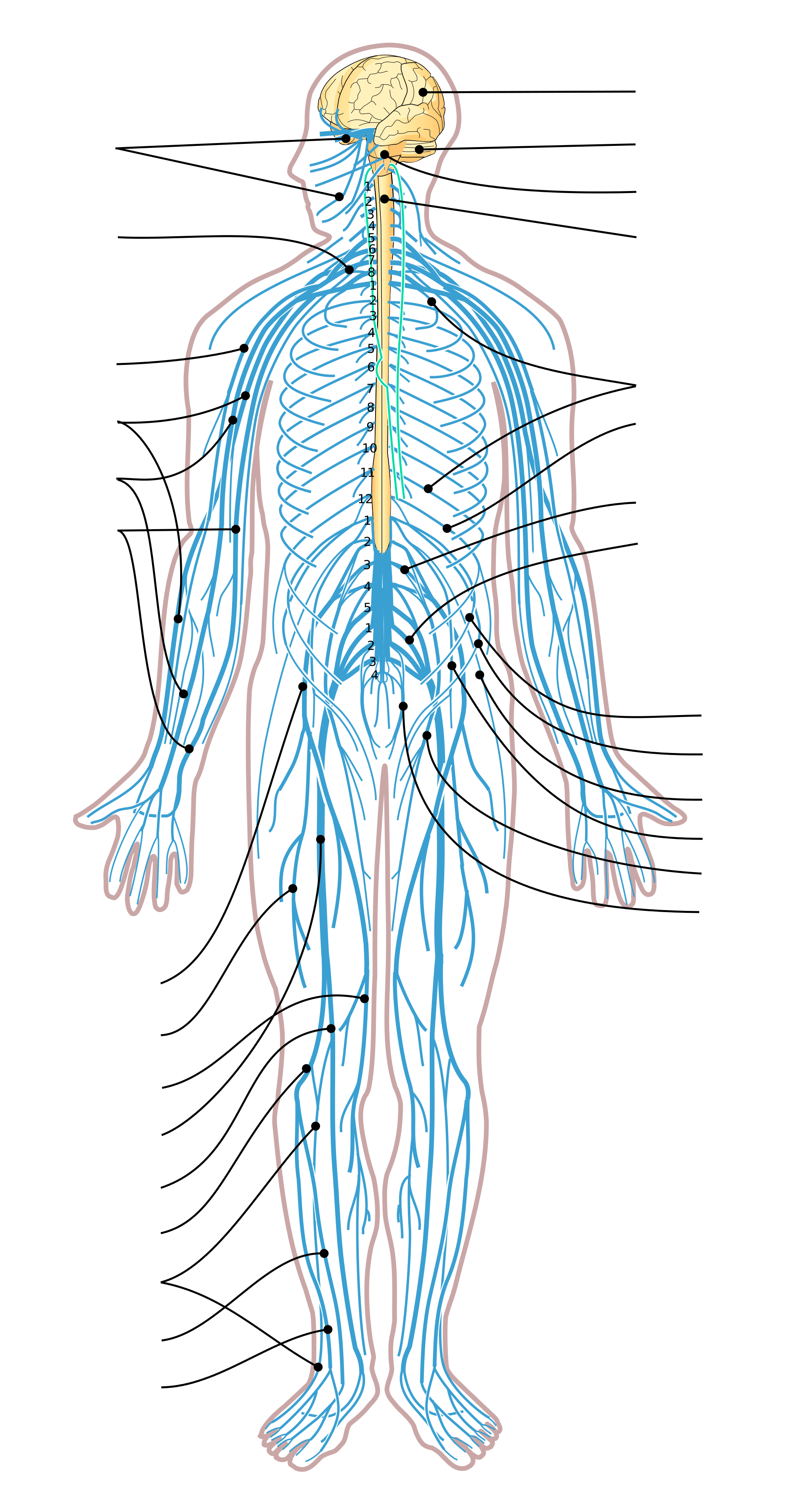 central nervous system labeled diagram jeep jk front suspension png transparent images