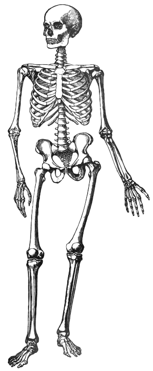 PNG Skeleton Bones Transparent Skeleton BonesPNG Images