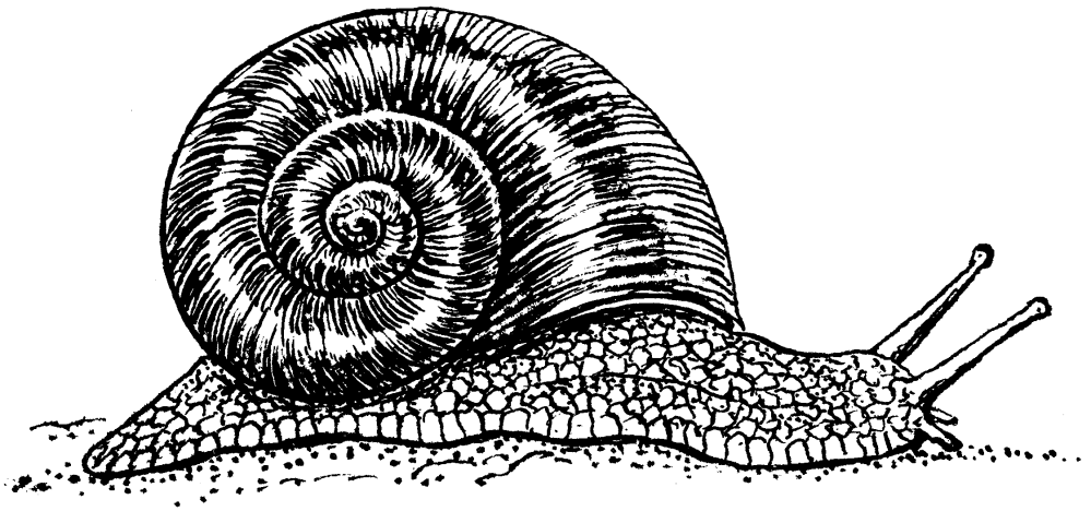 medium resolution of file snail psf png png snail black and white