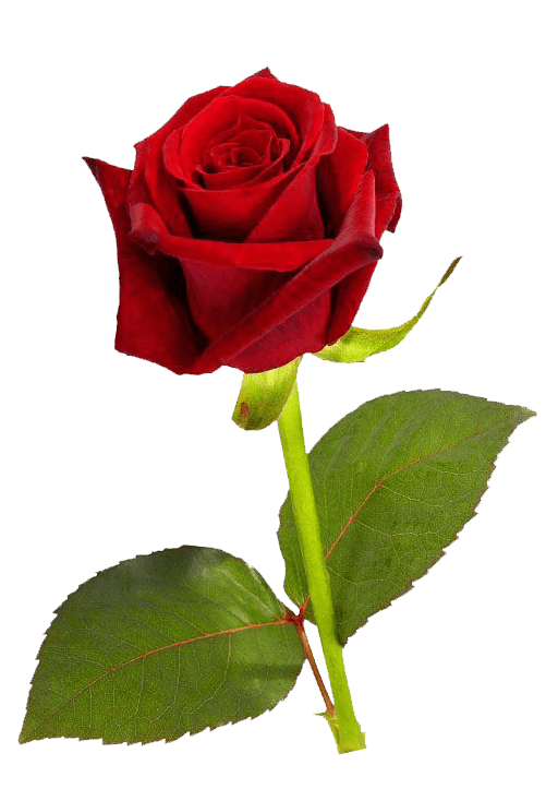 rose hd png transparent