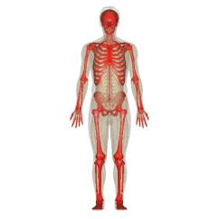 Kids Skeletal System Diagram Kenwood Kdc 108 Stereo Wiring Png Hd Transparent Hd.png Images. | Pluspng