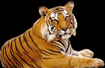 tiger hd png transparent