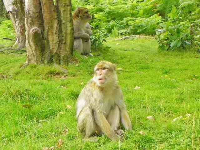 Two monkeys sit under a tree in Monkey Forest, Trentham Gardens, West Midlands