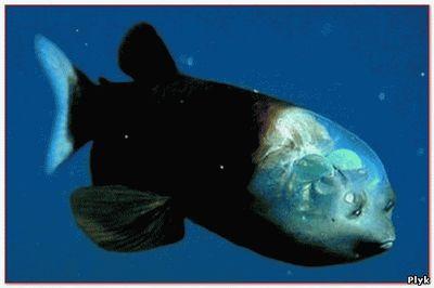 Таинственная рыба с прозрачной головой