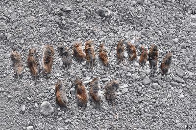 Мертвые грызуны в долине смерти