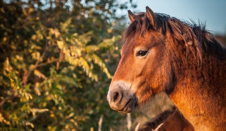 exmoorský kůň