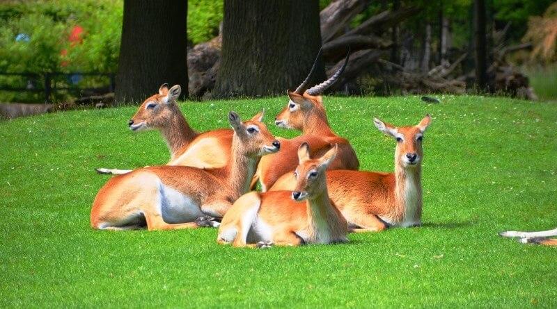 Antilopa červená