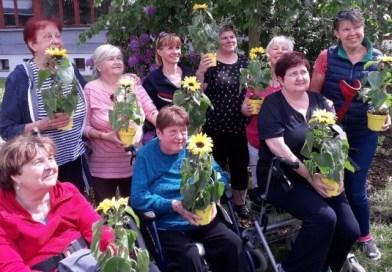 Plzeňští zasadili desítky slunečnic. Podpořili pacienty sroztroušenou sklerózou