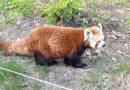 Našla se ztracená panda červená. Je v pořádku zpět v ZOO