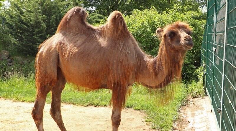velbloudice Sisi