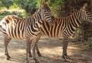 Zoo Plzeň se v uplynulých dnech stala chovatelem vzácných zeber bezhřívých