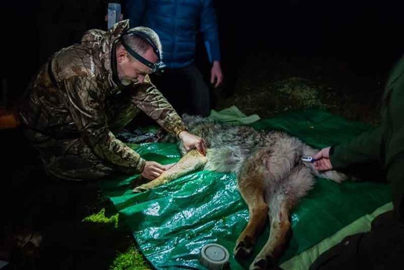 Odchyt vlka