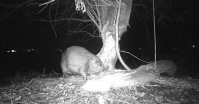 Podívejte se na bobří rodinku z Berounky prostřednictvím fotopasti