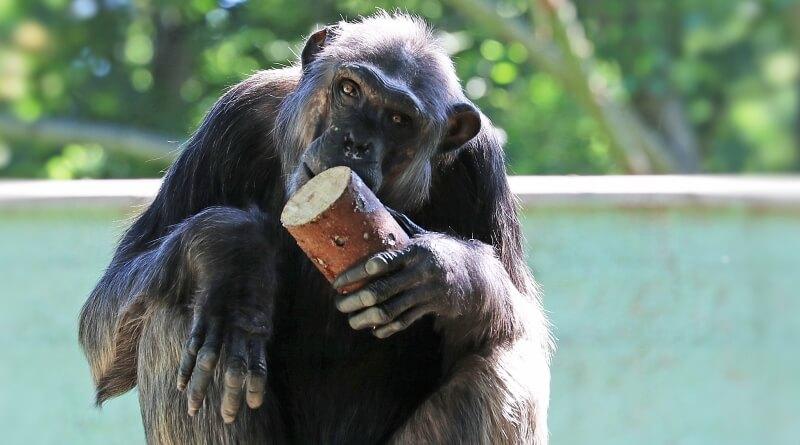 šimpanz Bask