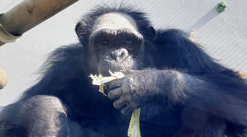 Šimpanz Siri