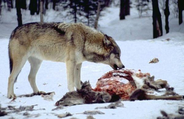Grey Wolf Wiki 𖣘Therian Amino𖣘 Amino