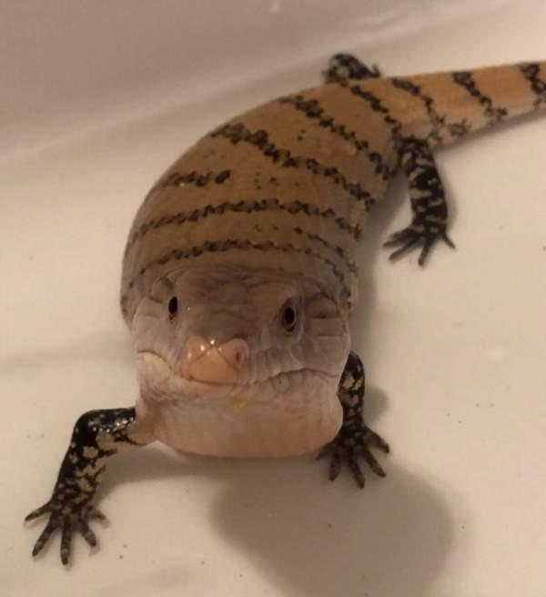Morph Guide Leopard Geckos Wiki Reptiles Amino