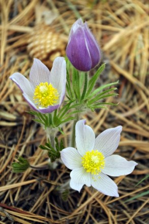Three stages of pasque flowers