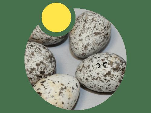 Zbirka ptičjih jaja