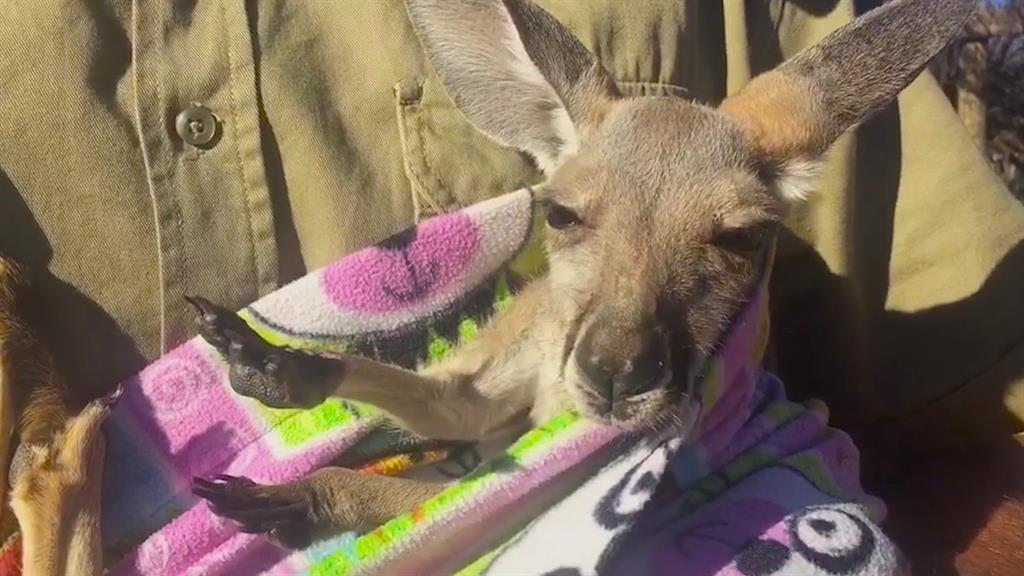why rescued kangaroo joeys