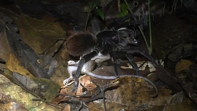 Watch giant Amazon spider prey on opossum