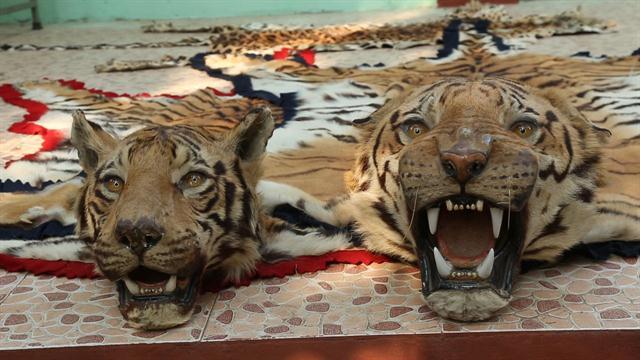 Battling Indias Illegal Tiger Trade