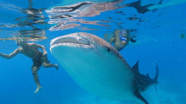 Hope Emerges for Whale Sharks Despite New Endangered Status