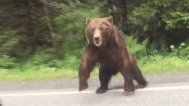 Startling Video Shows a Big Bear Charging at a Car