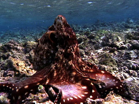 Watch A Camouflaged Octopus Mimic Its Surroundings While