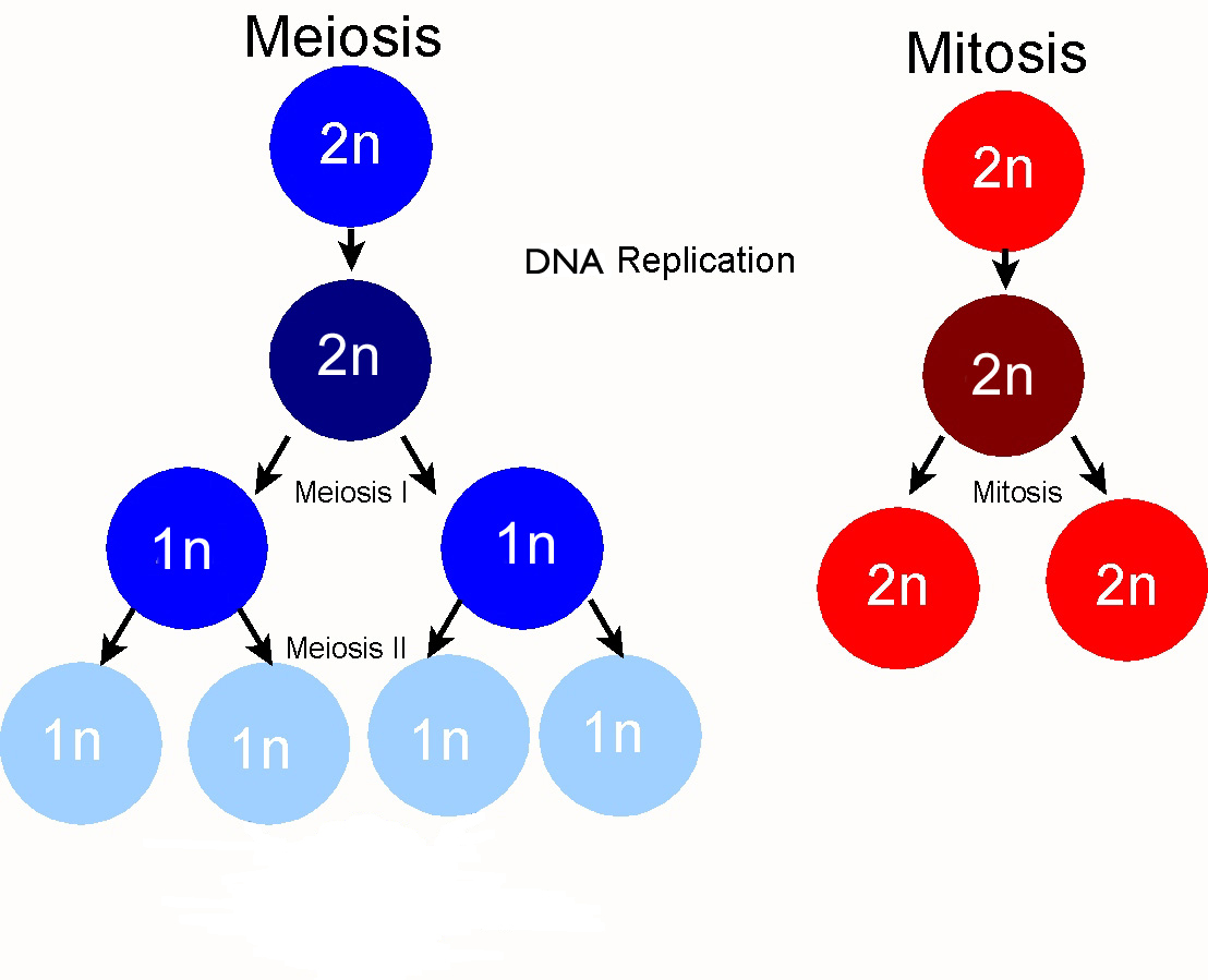 simple diagram of meiosis heating wiring diagrams chromosome pmg biology