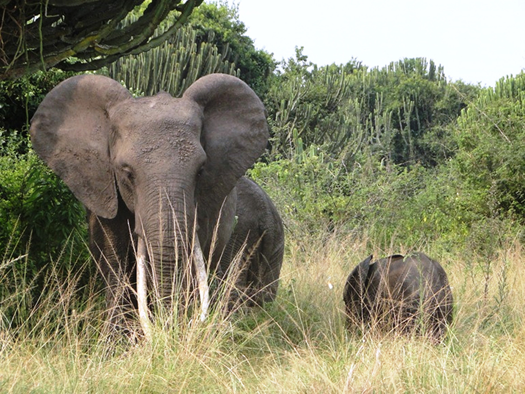 An elephant feeds with the young one in Queen Elizabeth National Park recently. Photo by Felix Basiime
