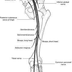 Diagram Of Sciatic Nerve Leg Air Handler Wiring Anatomy Picture