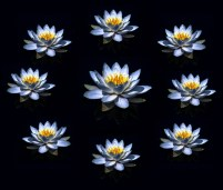 Lotus_klein