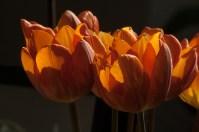 Tulp1