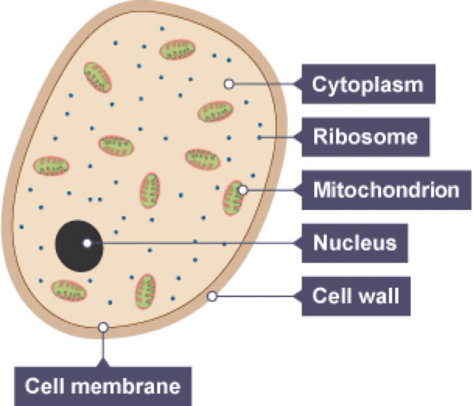 medium resolution of fungal cell diagram wiring diagram portal fungus cell structure fungi cell diagram