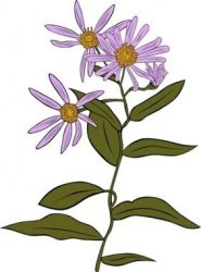 Free Aster Flower Clipart in AI SVG EPS or PSD
