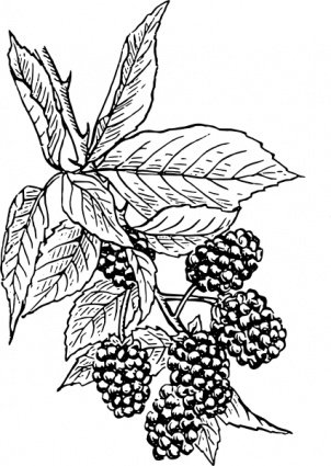Blackberry Clipart Picture Free Download