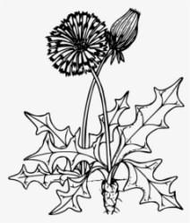 Clip Art Dandelion Outline Dandelion Clipart Black And White HD Png Download Transparent Png Image PNGitem