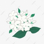 Simple Jasmine Flower In Hand Drawn Flower Jasmine Flowers Png Transparent Clipart Image And Psd File For Free Download