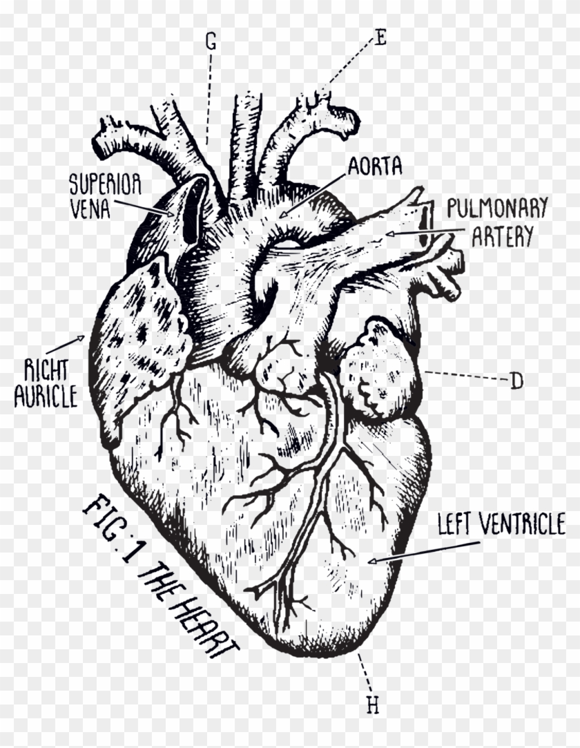 Heart Drawing Png : heart, drawing, Tattoo, Download, Biological, Heart, Drawing,, Transparent, 1277x1587(#1927741), PngFind