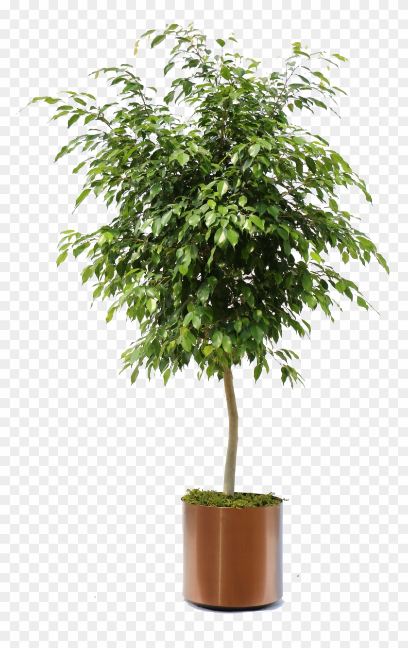 Plant Top View Png : plant, Indoor, Plants, Ficus, Bonsai, Transparent, 1824x2736(#2402042), PngFind