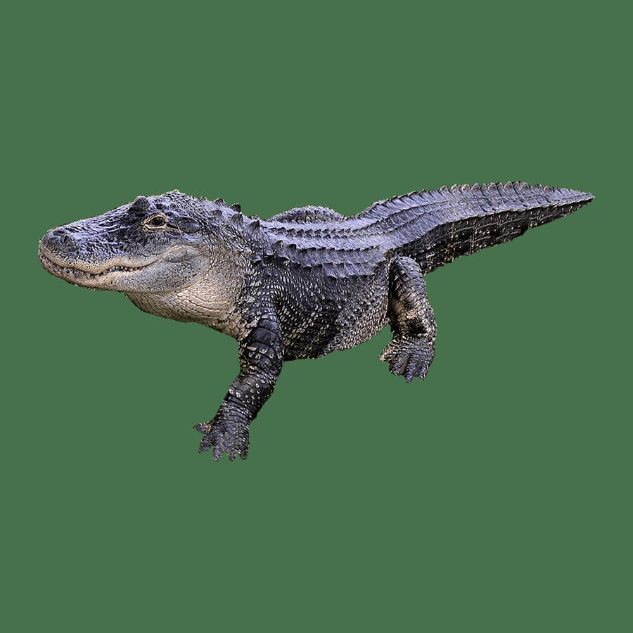 Alligator Transparent Image