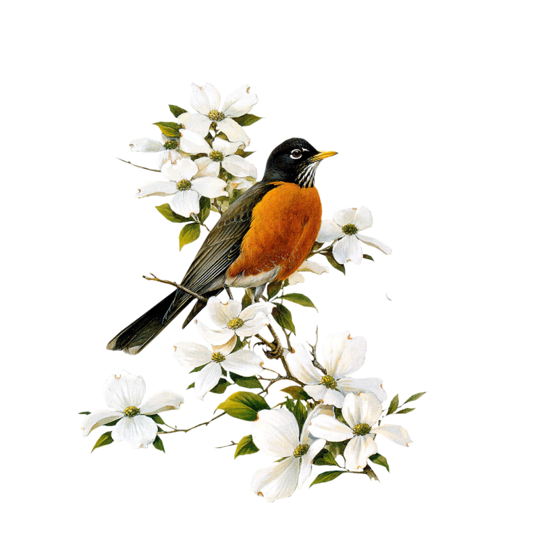 American Robin Transparent Picture