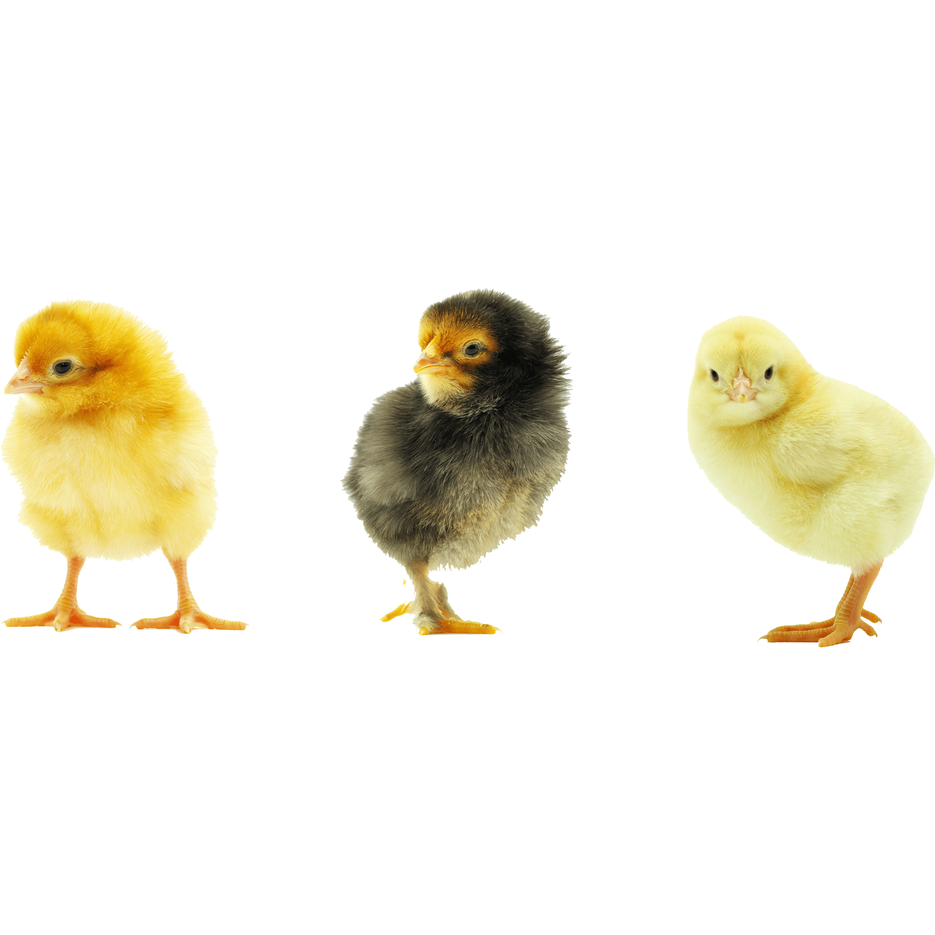 Baby Chick Transparent Gallery