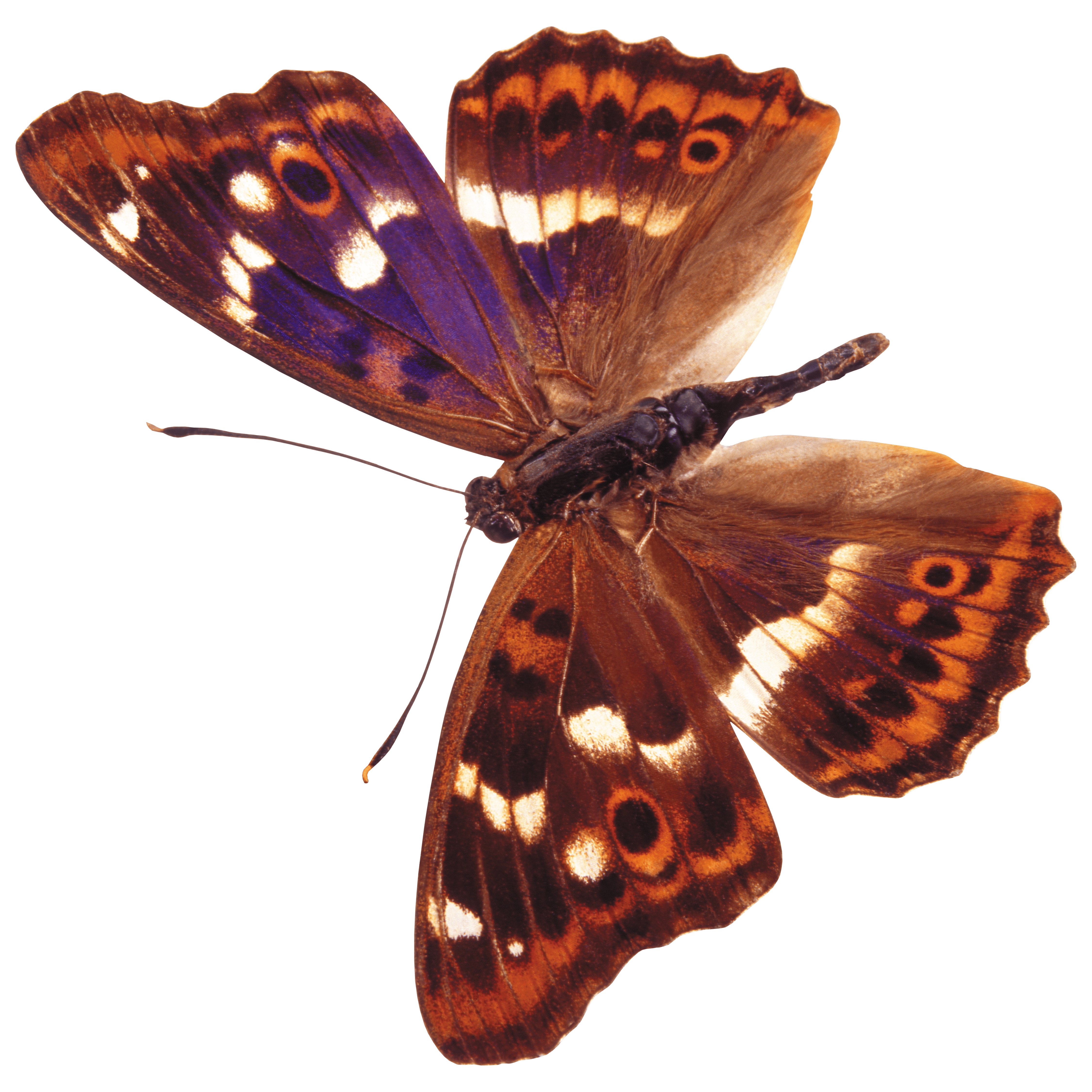 Butterfly Transparent Picture
